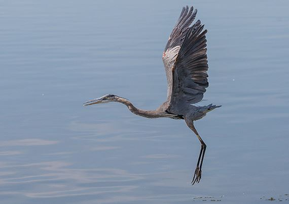 A crane flying above the water